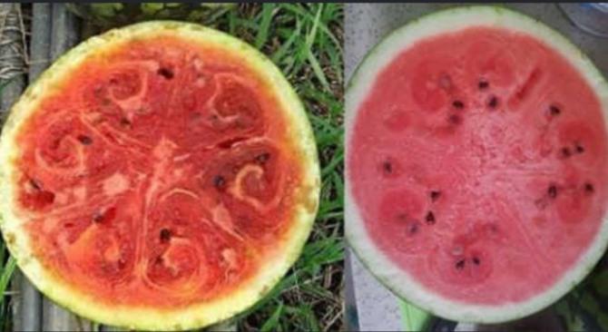(사진) 바이러스에 감염된 수박 (좌) 정상적인 수박 (우) / 사진 = 온라인 커뮤니티
